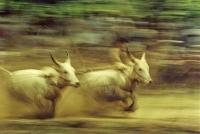 Bullrace-panning